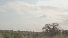 Birds gliding on rising air current, searching for prey above African woodland Stock Footage
