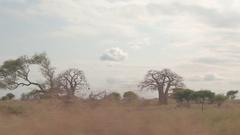 CLOSE UP: Safari game drive through savanna grassland in Tarangire National park Stock Footage