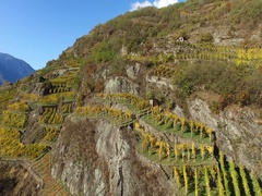 Vineyards in Autumn - Harvest time - Aerial view 4k Stock Footage