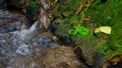 Green pit viper resting close to tropical stream Stock Footage