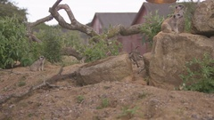 4K Family group of meerkats at wildlife park. No people. Stock Footage