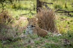 Starring Leopard in the Kruger National Park, South Africa. Stock Photos
