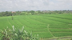 Canggu Rice Fields Bali Indonesia Aerial 4k Stock Footage