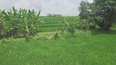 Bali Rice Field Aerial 4k Stock Footage