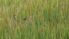 Two Scaly-breasted Munia birds resting on the grass shoot Stock Footage