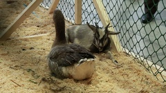 Goose and goat at indoor food market. Stock Footage