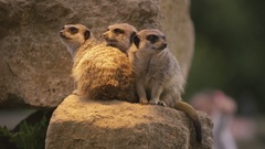 4K Meerkats at wildlife park in the UK with visitors watching Stock Footage