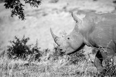 Side profile of a White rhino in the Kruger National Park, South Africa. Stock Photos