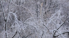 Damage birch tree after ice rain Stock Footage