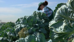 Picked brussel sprouts Stock Footage
