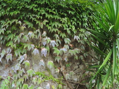 Stone wall with climbing plants Stock Footage
