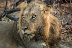 Starring Lion in the Kruger National Park, South Africa. Kuvituskuvat
