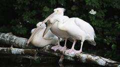 Pelicans on the Ground Stock Footage