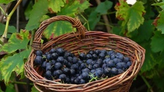 Bunch of grapes falling in the basket Stock Footage