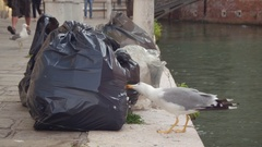 Seagull pulls out the garbage from the trash bag with the beak in Venice, Italy Stock Footage