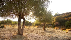 Olive tree in a plantation. Southern europe, Rhodes, Greece Stock Footage