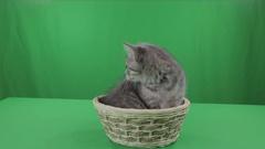 Beautiful little kitten Scottish Fold in basket on Green Screen Stock Footage