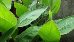 The large green leaves close-up small waves on a wind. Stock Footage