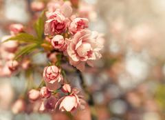 Color sakura closeup. Stock Photos