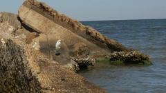 Snowy Egret Standing on Derelict Dock, 4K Stock Footage