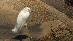 A Snowy Egret Rests on Top of a Concrete Barrier at the Beach, 4K Stock Footage