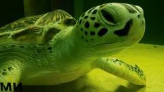 Sea turtle in Marine Aquarium Stock Footage