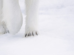 Polar Bear paws walking on pack ice Stock Footage