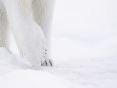 Polar Bear paws walking on pack ice 2 Stock Footage