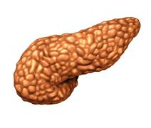 Pancreas Human Organ Stock Illustration