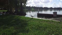 Bird Walking on Grass Near Lake Stock Footage