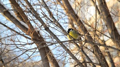 Titmouse sitting on the tree branch in the winter Stock Footage