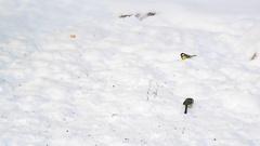 Titmice eating sunflower seeds on snow Stock Footage