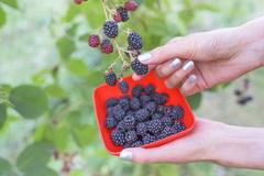 Hands collect blackberry. Stock Photos