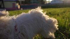 Funny puppy. Cute bichon dog run through green park Stock Footage