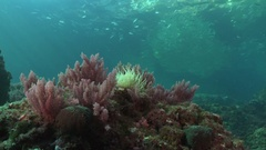 Pink soft coral on rocky reef Stock Footage