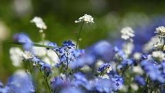 Forget-me-not flowers. Natural summer background Stock Footage