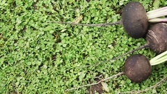 Recently dug roots black radish lies on the lawn Stock Footage