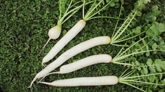 Dug recently daikon root  lying on the lawn Stock Footage