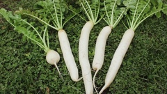 Just dug radish lies on the lawn Stock Footage