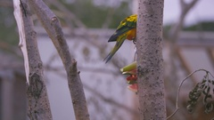 4K Sun conure bird, also known as sun parakeet at wildlife park in the UK Arkistovideo