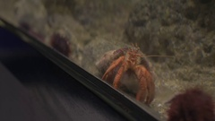 Taking cell photo of soldier crab in aquarium Stock Footage