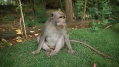 Zoo in Bali. Monkey sitting on the grass and looking for something to bite. She Stock Footage