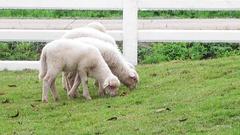 Baby Sheep  graze. Stock Footage