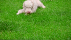 White poodle dog lying on green grass. Puppy eating grass. Calm dog sniffing Stock Footage