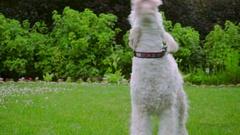 White Labradoodle shake. Good dog shaking. Lovely animal outside Stock Footage