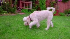 Dog fetch toy. White labradoodle keep ball in mouth. Dog with ball Stock Footage