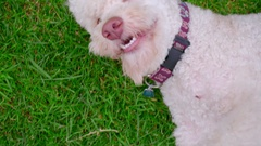 White poodle dog on green grass. Close up of white dog turn on meadow Stock Footage