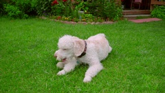 Tired dog resting on green grass after playing with ball. Poodle dog lying down Stock Footage