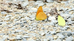 Yellow black butterflies up close Stock Footage