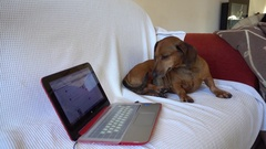 Dog and tablet on sofa Stock Footage